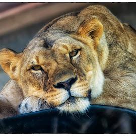 The Stare by Thomas Alexander - Animals Lions, Tigers & Big Cats ( nik color efex pro 4, nikond7100, lioness, columbus zoo and aquarium, sleepingbear imagewear )