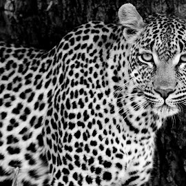 The Stare by Kim Stockley - Animals Lions, Tigers & Big Cats ( black and white, safari, south africa, beauty in nature, leopard,  )