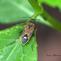 Small Milkweed Bug