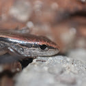 Ground Skink (Juvenile)