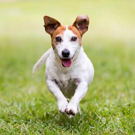 Jack by Allira Fontana - Animals - Dogs Running ( jack russel, jack, grass, pet, dog, running )