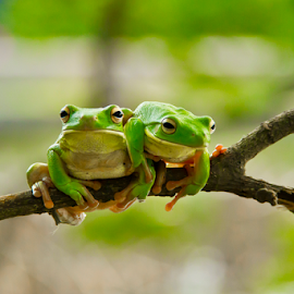 Get Off by Choky Ochtavian Watulingas - Animals Amphibians ( two, animals, frog, green, amphibian, bokeh )