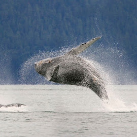 Breathing life by Adam Taylor - Novices Only Wildlife ( humpback, breach, alaska, onlyinalaska, jump )