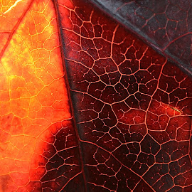 From Dark To Light by Ed Hanson - Nature Up Close Leaves & Grasses ( red, nature, gold, leaf, close-up )