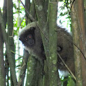 Black-fronted titi monkey (?)