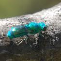 Green cuckoo wasp