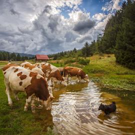 Thirsty cows by Stanislav Horacek - Animals Other Mammals