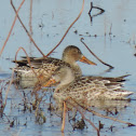 Northern Shoveler Duck (female)