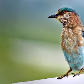 1 by Shibram Nag - Animals Birds