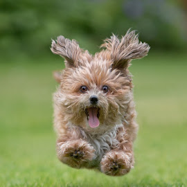 by Michael Milfeit - Animals - Dogs Running ( flying, bolonka )
