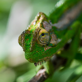 Wild Eyed Chameleon by Mark Hancock - Animals Reptiles