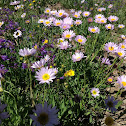 townsends aster