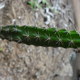 Spiky Cactus by Arun Veeramani - Nature Up Close Other plants ( spikes, nature, green, beautiful, cactus )