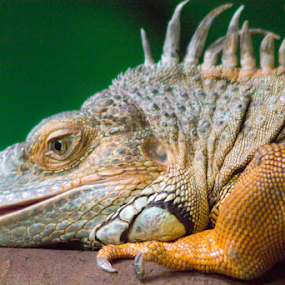 by Chris DiNapoli - Animals Reptiles