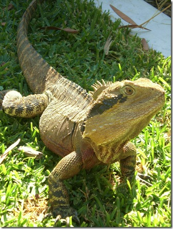 80 currumbin lizard