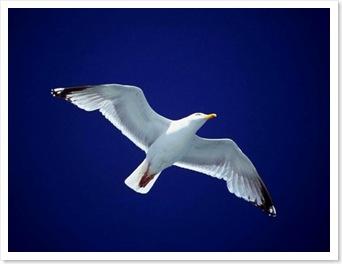 seagull42