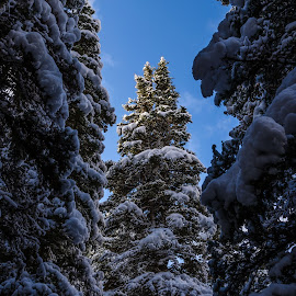 laden by Fred Faulkner - Landscapes Forests ( winter, montana, snow, white, fir tree, evergreen, glacier national park,  )
