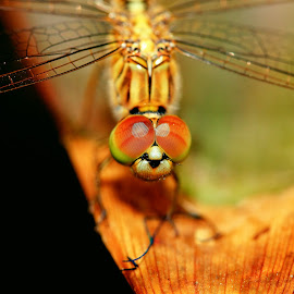 by Bernet Benn - Novices Only Macro ( macro, dragonfly, insects, canon eos, photoshop )