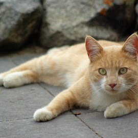 by Giselle Pierce - Animals - Cats Portraits ( orange tabby, resting, cat, meow, feline, tabby )