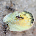 ants and butterfly wing