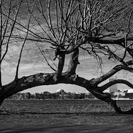 Cambridge in the background by Jil Norberto - City,  Street & Park  City Parks ( tree, boston, cambridge, black, river,  )