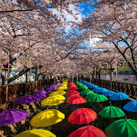 Colors of Spring by Aaron Choi - Artistic Objects Other Objects ( moods, colorful, umbrella, happiness, cherry blossom, vibrant, spring, korean, inspiration, january, emotions, parasols, jinhae, south, flowers, korea, mood factory )