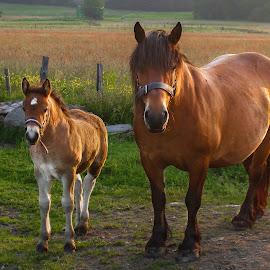 by Charles Paulus - Animals Horses