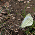 Small White Butterfly (Small Cabbage White)