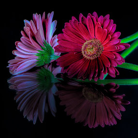 by Bill Camarota - Flowers Flower Arangements ( blooms, daises, reflections )
