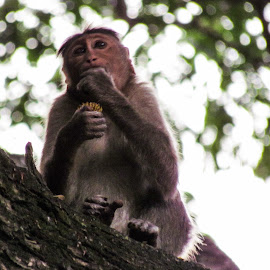 by Sristi Yadav - Novices Only Wildlife ( tree, food, branch, eating, monkey,  )