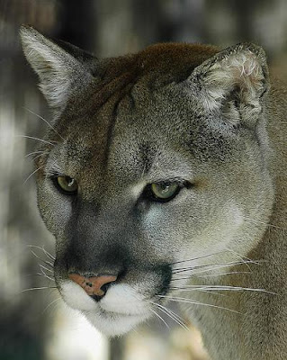 largest wild cat - photo #49