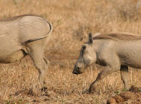 cheetah prey - warthog
