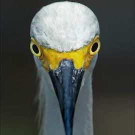 The Stare Down by Dennis Ba - Animals Birds ( merrit island, florida, egret )