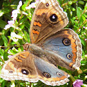 Junonia sp. butterfly
