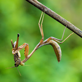 Meal Time by Ade Yuda - Animals Insects & Spiders ( eat, mantis, insect )