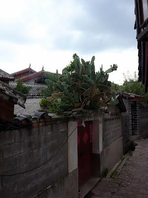 丽江有很多大仙人掌,是因为雨水多么?