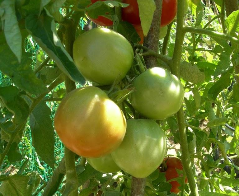 Un jardin potager en languedoc vari t s de tomates dans for Vers dans les tomates