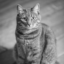 Mesha by Preston Trauscht - Animals - Cats Portraits ( natural light, cat, black and white, beauty, portrait )