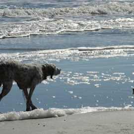 by Claire Underwood - Animals - Dogs Playing ( water, sand, waves, beach, dog )