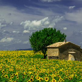 Sunflower by Srečko Prša - Landscapes Prairies, Meadows & Fields ( field, clouds, sky, tree, sunflowers, field flower, sunflower, house )