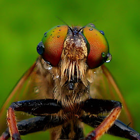 Predator's Eyes by Iwan Ramawan - Animals Insects & Spiders ( pocket shot )