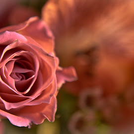 by Brandi Hollywood - Novices Only Flowers & Plants ( rose, pink, flowers, light, flower,  )