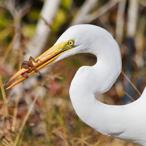 Snowy Egret Lunch by Peter Andrusyszyn - Animals Birds ( 2014, florida, lunch, snowy egret, sanibel island,  )
