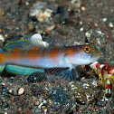 Flag-Tail Shrimp-Goby