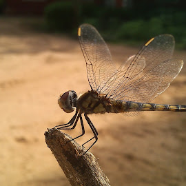 Evening Rest ! by Darshan Trivedi - Instagram & Mobile Android ( macro, stick, dry, android, beautiful, rest, dragonfly, garden, evening )