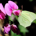 Common Brimstone, Limonera
