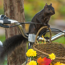 I'll Drive by Michael Wolfe - Animals Other ( leaves, flowers, black squirrel, bicycle, animal,  )