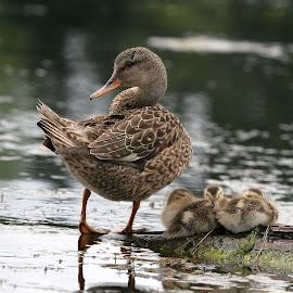 Protecting the Babies by Dan Dusek - Animals Birds ( ducklings, ducks, nature photography, birds, animal,  )