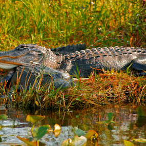 Head Rest by Chris Wilson - Animals Reptiles ( nature, alligator, wildlife, everglades, swamp )