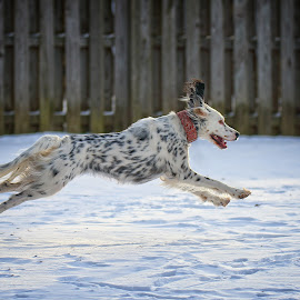 by Andrew Lawlor - Animals - Dogs Running